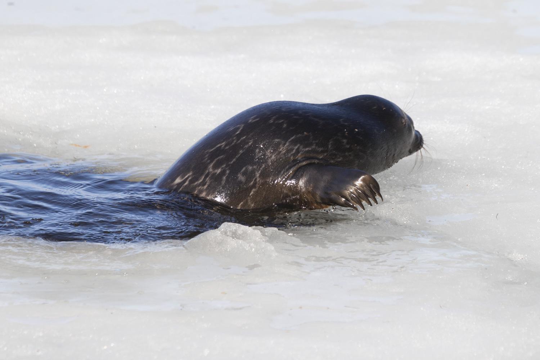 Savonlinnan city-norppa nousee vedestä jäälle